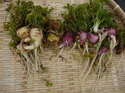 有機農法で栽培したマカ