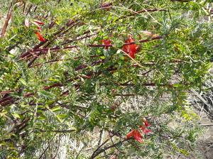 国産キャンサーブッシュの開花