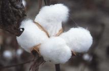 綿わた農法