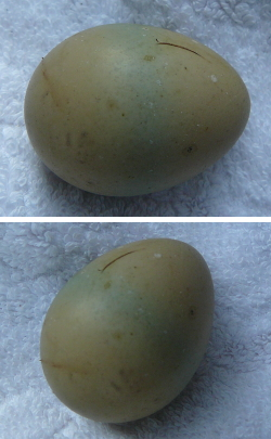国産グァー豆(クラスタ豆)畑に卵