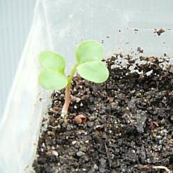 有機肥料効果―腐葉土30%