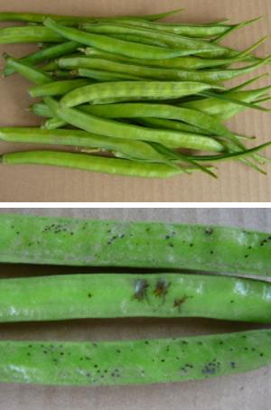 国産グァー豆(クラスタ豆)