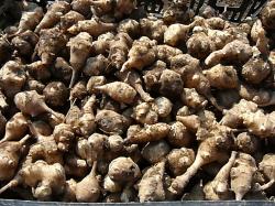 有機農法で栽培したキクイモ
