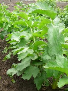 有機農法で栽培したパースニップの葉
