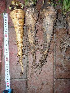 有機農法で栽培したパースニップ