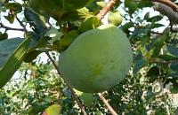 柿に発生する病気・害虫