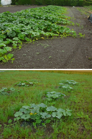 有機栽培と化学肥料栽培のカボチャの生長の違い