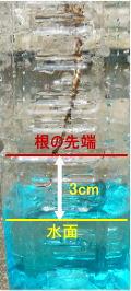 根の呼吸-根先下3cm