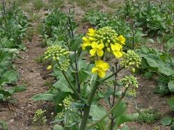 国産ルタバガの開花
