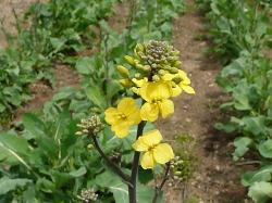 国産ルタバガの花