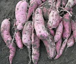 有機農法で栽培したサツマイモ