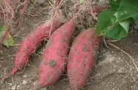 サツマイモに発生する病気・害虫