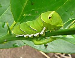 ナミアゲハ四齢幼虫(全体)
