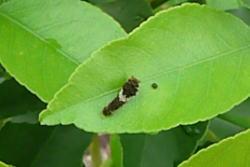ナミアゲハ幼虫と糞