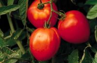 トマトに発生する病気・害虫