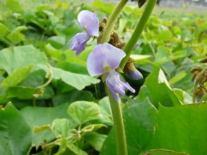 国産ヒカマの開花