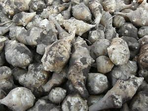国産キクイモ(菊芋)