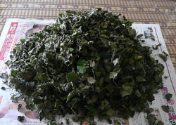 連銭草のお茶作り