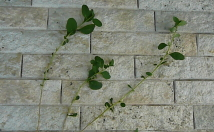 若返りの果物「クコ」を挿し木