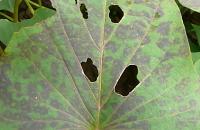 斑紋モザイク病の葉の状態