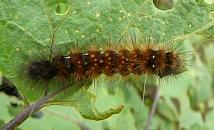 マエアカヒトリの幼虫