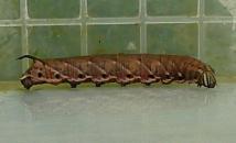 エビガラスズメの幼虫