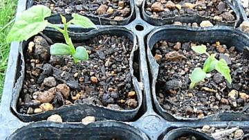羅漢果の発芽状況-播種より1ヶ月