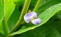 国産ヒカマの花