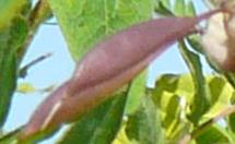 キバナオウギの種子