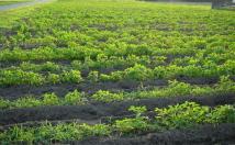 グア豆(クラスタ豆)の圃場