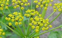 パースニップの花